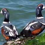 Harlequin Ducks 1
